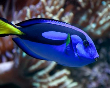 What kind of fish is Dory in Finding Nemo