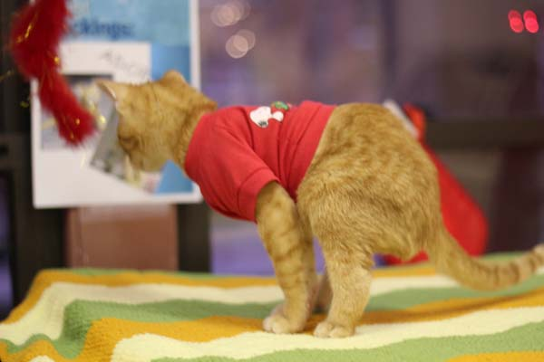 14095584377038 stockings6 Kitten Born With Backward Legs. These Images will Definitely Make You Emotional!