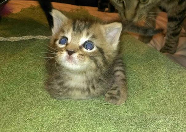 14095616974709 mercury two legged kitten 7 Handicapped yet so full of life. This kitten will definitely inspire you!!
