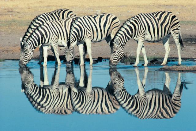 dv031036 Why do zebras have stripes?