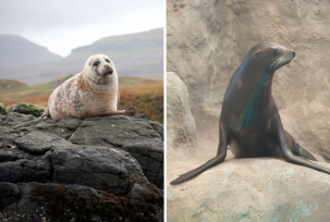 sealvsseallion 303x204 Arent Seals and Sea Lions Basically The Same?