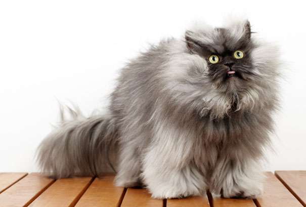 most popular cats colonel meow 2 20 Of The Most Popular Internet Cat Stars