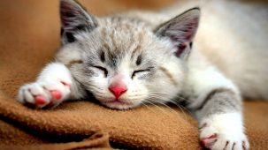 Why and how do cats purr 303x170 Why and how do cats purr?