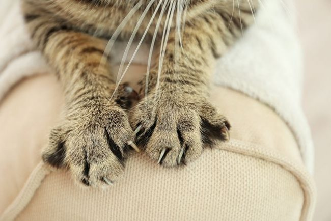 Why do cats knead blankets 650x434 Why do cats knead blankets?