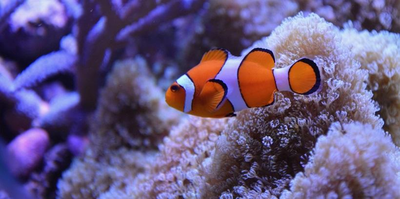 What Kind of Fish is Nemo What kind of fish is Nemo in Finding Nemo?