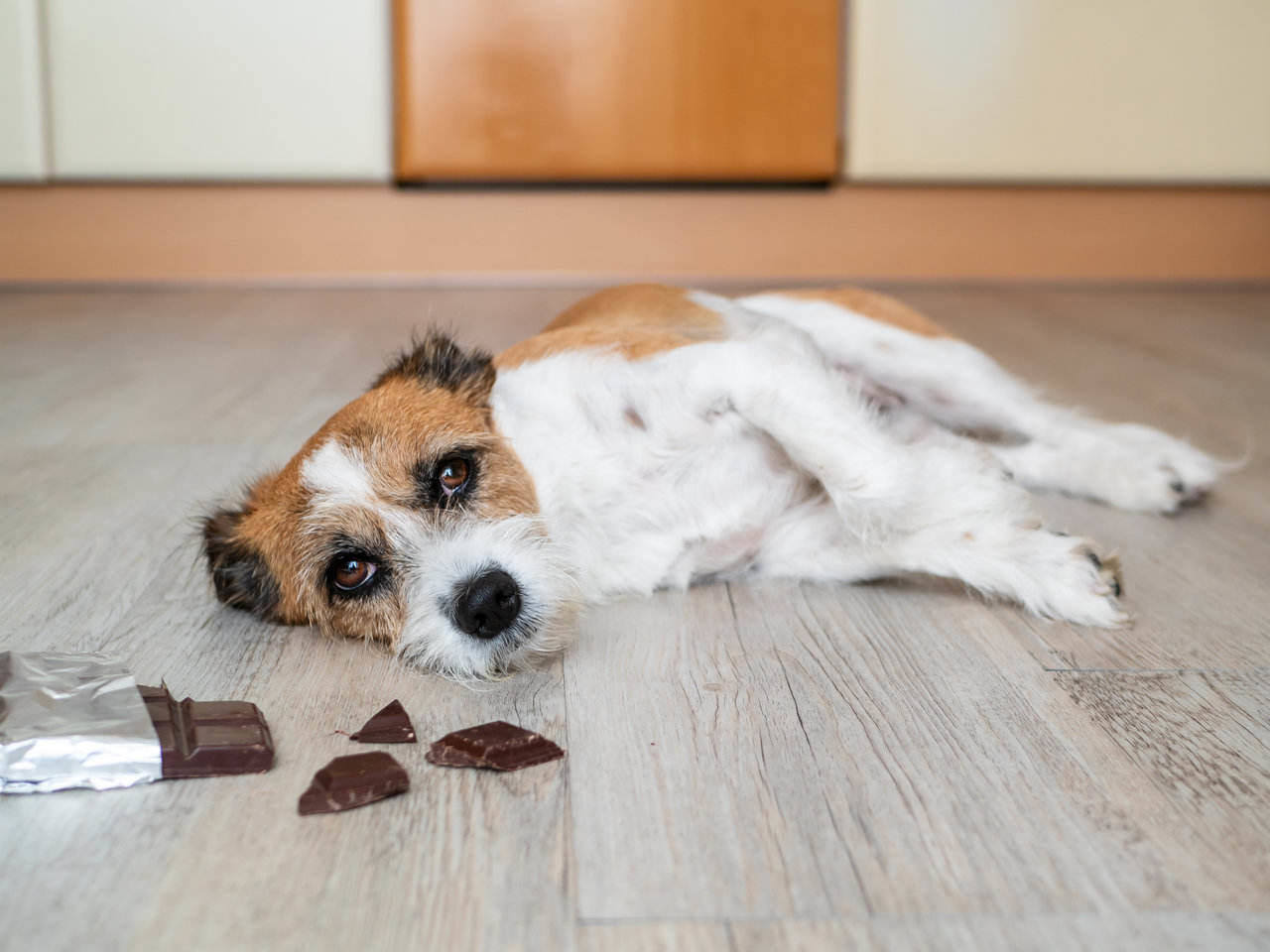 Why cant dogs eat chocolate Why cant dogs eat chocolate? Why is it bad for them?